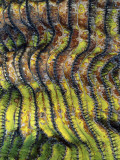 Detail of the Ridged Surface of a Cardon Cactus