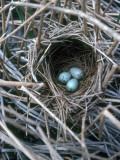 The Nest of a Red-Winged Blackbird with Three Light Blue Eggs