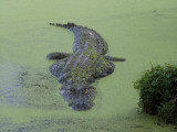 American Alligator in 'Duck Weed'