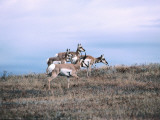 Group of Pronghorn Antelope Stands in Dry Grass Field