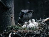 An Adult Goshawk at the Edge of a Nest with Three Chicks