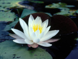Water Lily Floating Near Lily Pads