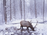 Bull Elk Stands on Snow-Covered Ground in the Winter