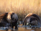 Mother and Young Beaver Wade in Water
