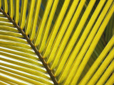 Detail of Yellowed Palm Frond  Bird Island  Republic of Seychelles  Africa
