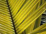 Detail of Palm Fronds  Bird Island  Republic of Seychelles  Africa