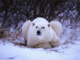 Detail of Polar Bear Lying in Willows