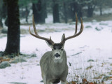 Mule Deer Buck Standing in Snow Displays Horns in Winter