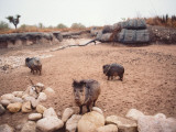 A Group of Collared Peccary/Javelina Walk the Beach