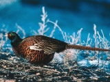 Ringed-Neck Pheasant Crouches over Ground Cover in Snow