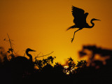 Silhouette of Great Blue Heron on Ground and Great Egret in Flight at Sunset