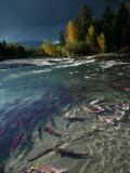 Sockeye Salmon Migrate and Spawn