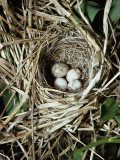 Brown-Headed Cowbird Egg in Nest of Macgillivaray&#39;s Warbler