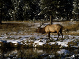 Bull Elk (Cervus Canadensis) in Patchy Snow  Yellowstone National Park  Wyoming  Usa