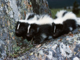 A Group of Striped Skunks Huddle on a Rock