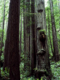 Giant Redwood National Park  Usa