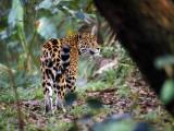 Jaguar in Rainforest  Endangered