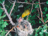 Adult Yellow Warbler   Dendroica Coronata  Feeds Cowbird Chick