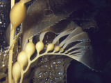 Detail of Growing Tip and Bulbs in a Kelp