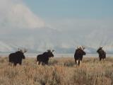 A Group of Moose Walk in a Field