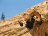 Bighorn Sheep Ram Stands on Hill