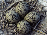 Detail of American Avocet Eggs in Nest
