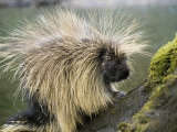 Detail of Porcupine Standing on Moss-Covered Tree Trunk