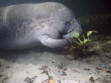 West Indian Manatee (Trichechus Manatus) Eating Water Hyacinth Underwater  Blue Spring State Park
