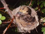 Brown-Headed Cowbird Sits in Yellow Warbler Nest