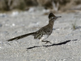 Road Runner (Geococcyx Californianus)  Southwest  Usa