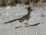 Road Runner (Geococcyx Californianus)  Southwest  Usa
