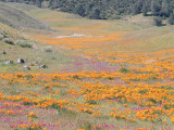 Hills Frame Field of California Poppy and Owls Clover
