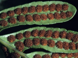 Close Up of Leathery Polypody Fern (Polypodium Scouleri) Leaves with Reddish Balls  Redwood Natio