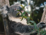 Koala Bear Eats Leaves in Tree