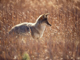 Coyote Walks in Field of Tall Grass
