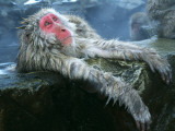 Snow Monkey/Japanese Macaque Soaks in a Hot Spring  Arms Hang over Rock Ledge