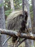 North American Porcupine (Erethizon Dorsatum) on Tree Branch  Wyoming  Usa