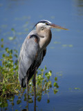 Great Blue Heron Portrait  Florida  Usa