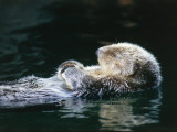 Sea otter sleeps while floating on back