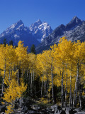 Rows of Aspen Trees Stand Among Boulders in Front of Cathedral Group Mountains During Fall