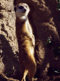 Meercat Stands on its Hindlegs