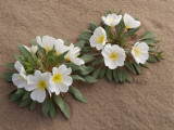 Dune Primrose (Oenothera Deltoides) Flowers Blooming in the Sand  Mojave Desert  California  Usa