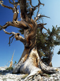 Bristlecone Pine  Ancient Tree