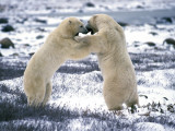 Male Polar Bears Play-Fighting