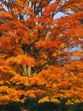 Usa  New Hampshire  Sugar Maple