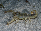 Giant Desert Hairy Scorpion Sits on Sand