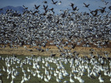 Snow Geese Taking Off from Field  New Mexico  Usa