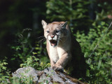 Mountain lion stands on rock and snarls  Montana