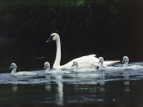 Trumpeter Swan Mother with Young