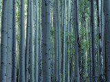 Multiple Aspen Tree Trunks